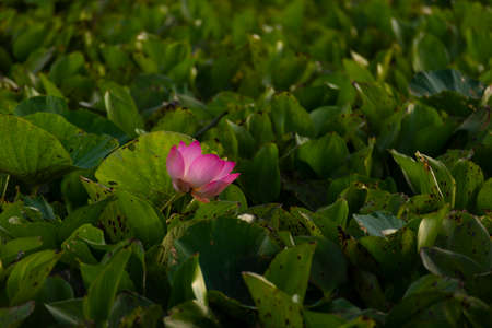 Pink beautfiule lotus with lilly pad in warter area pond, Lotus is very significant flower for buddhism.