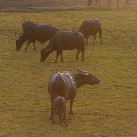 Water buffalo walking in paady rice field and pond, Signature of Ta-la-Noi sea travel attraction place in Phathalung province,Thailand