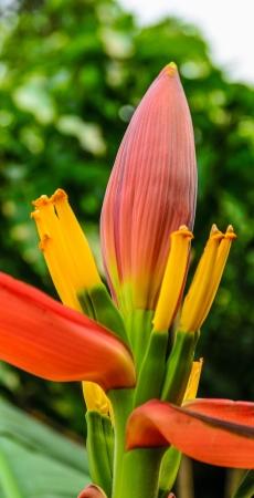 var: Banana blossom,Musa paradisiaca L  var  sapientum O  Ktze , M  sapientum L  Stock Photo