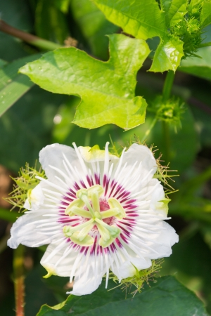 stinking: Stinking Passion Flower Stock Photo