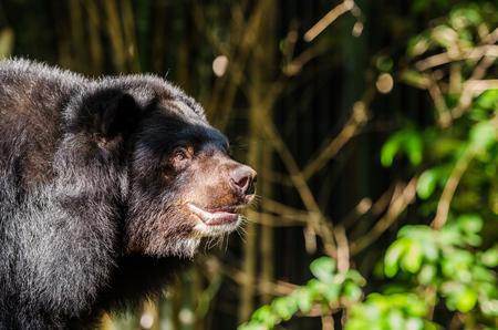 similar images preview:  Asiatic black bear  selenarctos thibetanus