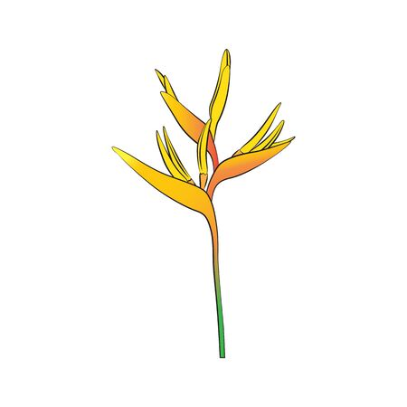 folwer: Vector cartoon heliconia folwer on white background. Illustration