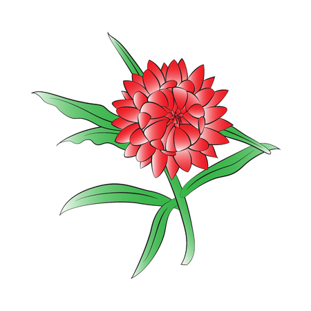 everlasting: Vector cartoon straw flower on white background. Illustration