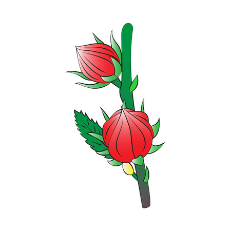 sepals: Vector cartoon roselle on white background.