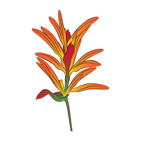 heliconia: Vector cartoon heliconia folwer on white background. Illustration
