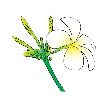 exoticism: Vector cartoon frangipani flower on white background.