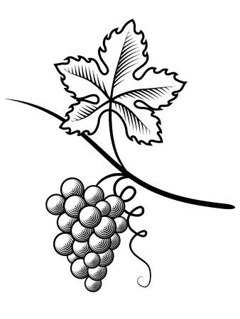 VID: Uvas grabado. ilustración vectorial grunge. Fondo blanco