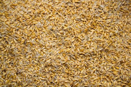 Sprouted grains background. Healthy eating. Background Texture