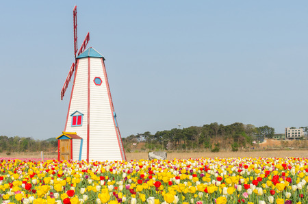tulip: colorful tulips in the park and wooden windmills on background