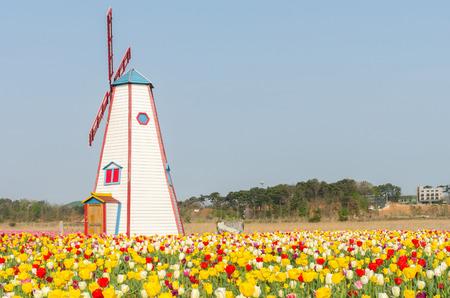tulipan: kolorowe tulipany w parku i drewniane wiatraki w tle