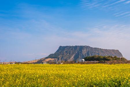 Canolafeld bei Seongsan Ilchulbong, Jeju-Insel, Südkorea Standard-Bild