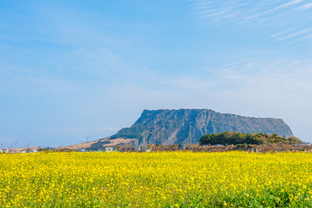 Canola field at Seongsan Ilchulbong, Jeju Island, South Korea
