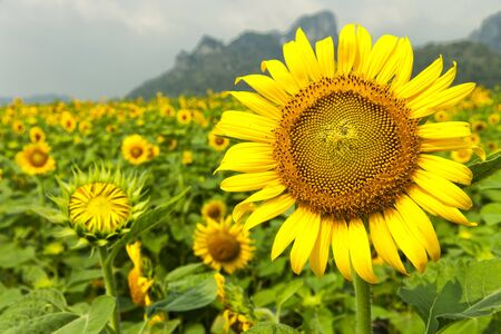 Sunflower field in Lopburi in Thailand        photo