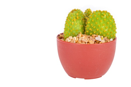The cactus on a white background. photo
