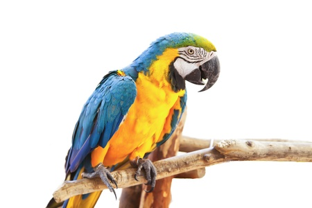 parrot on white background  photo