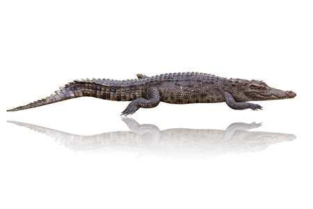 Crocodile on a white background