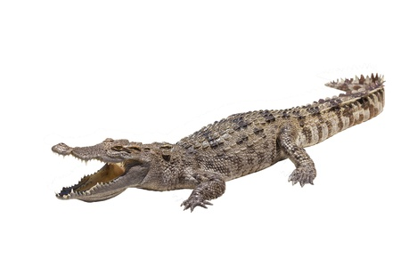 Crocodile on a white background.