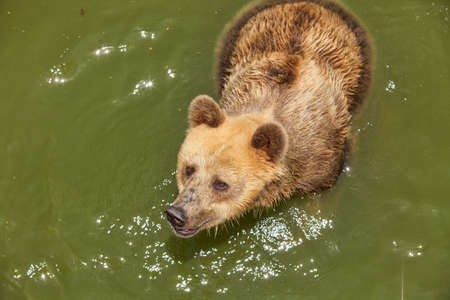 Bear in green water photo