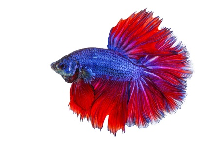 betta on a white background.