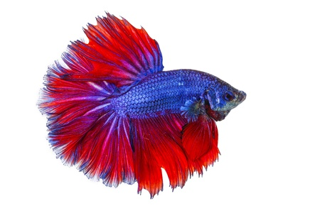 fish fire: betta on a white background.
