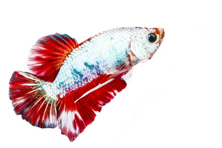betta on a white background. Stock Photo - 19918807
