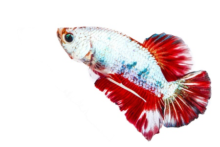 betta on a white background. Stock Photo - 19918727