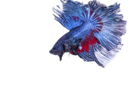 betta on a white background. Stock Photo - 19908459