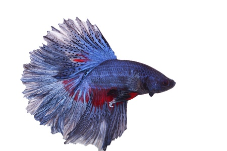 betta on a white background. Stock Photo - 19918745