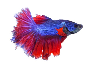 betta on a white background. Stock Photo - 19918837