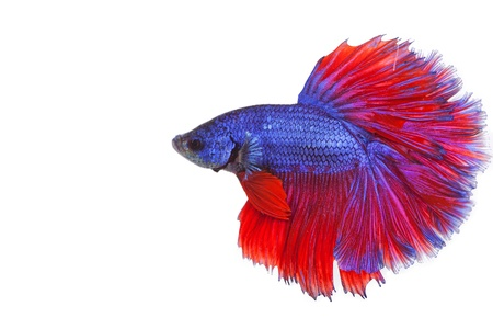 fire fin fighting: betta on a white background.