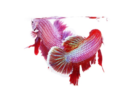 betta on a white background. Stock Photo - 19918954