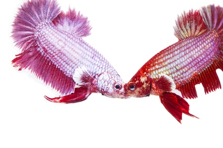 betta on a white background. Stock Photo - 19908458