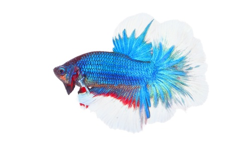betta on a white background. Stock Photo - 19918810
