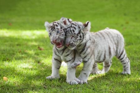 White Tigers. photo
