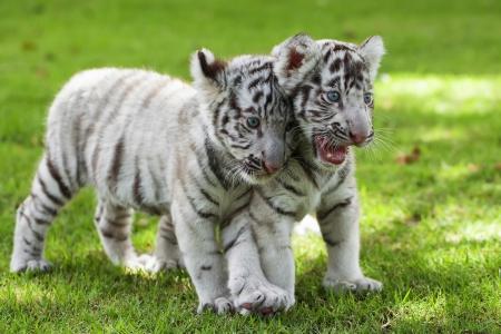 Белые Тигры. Фото со стока