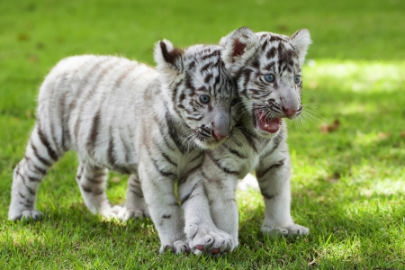 tigre cachorro: White Tigers.