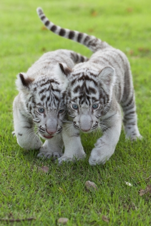 White Tigers.