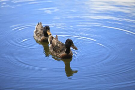Male and female duck swimming in the lake.  Stock Photo