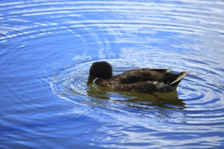 freshwater bird: Male and female duck swimming in the lake. Stock Photo
