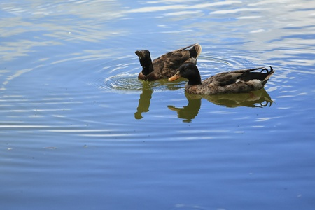 Male and female duck swimming in the lake.      photo