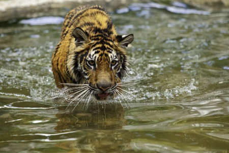 pet photography: Tiger walking in the water Stock Photo