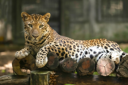 Los tigres son animales salvajes en Tailandia photo