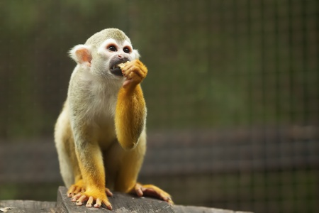 Squirrel monkey in a forest, Thailand  Stock Photo