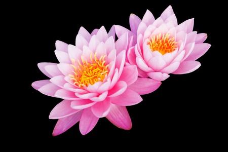Tropical Lotus Flowers photo
