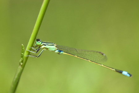 trithemis: Dragonfly in the nature of the country