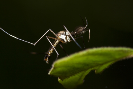 Mosquitoes in nature in Thailand photo