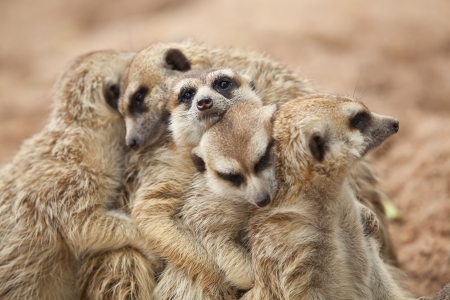 Meerkat famille prennent le soleil.