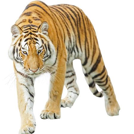 Les tigres sont dans la nature du pays.