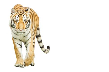 tigre blanc: Les tigres sont dans la nature du pays.