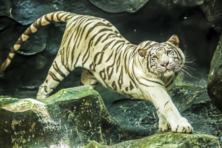 White Tiger in Thailand. Stock Photo